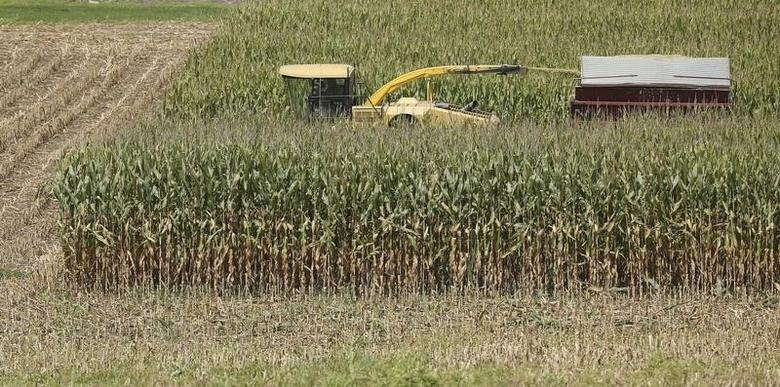 Tall feed corn is harvested on a warm summer day in Coatsville, Maryland August 30, 2013.  REUTERS/Gary Cameron