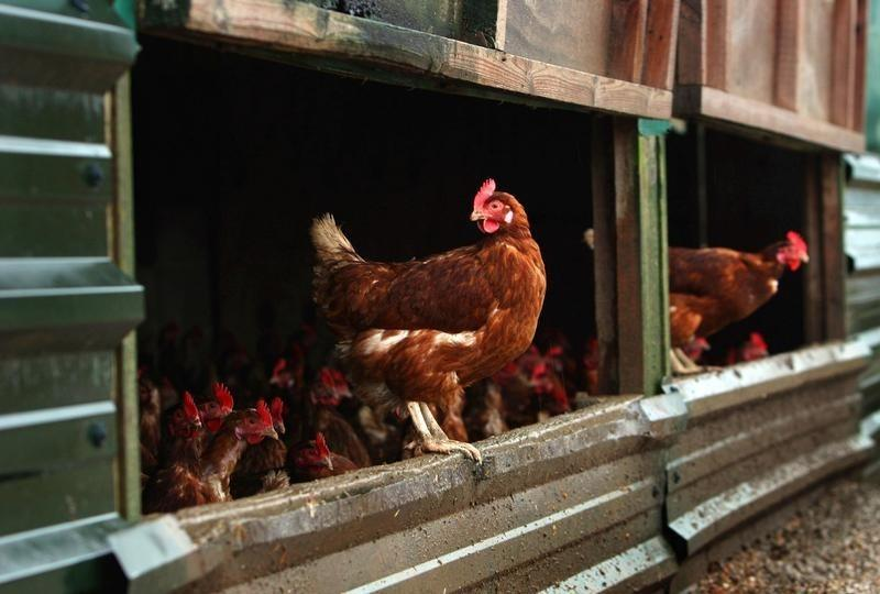 Is organic chicken worth the price? - Reuters