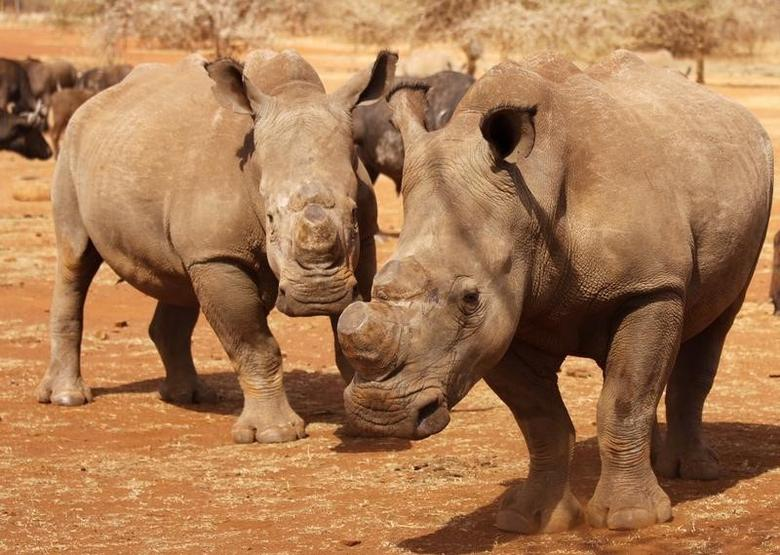 Dehorned rhinos are seen at the Kruger national park in Mpumalanga province September 16, 2011.  REUTERS/Ilya Kachaev