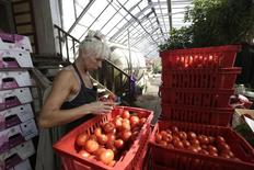 "A worker inspects tomatoes in the family owned farm ""Kligeni"" in Cesis August 22, 2014. REUTERS/Ints Kalnins"