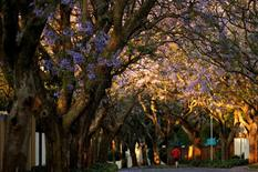 A jogger is seen below Jakaranda trees in Johannesburg October 30, 2014. REUTERS/Siphiwe Sibeko