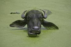 Буйвол остывает в водоеме на окраине Джамму 5 августа 2011 года. Лайнер индийской авиакомпании SpiceJet врезался в отбившегося от стада буйвола при взлете в аэропорту города Сурат и был вынужден вернуться в аэропорт. REUTERS/Mukesh Gupta