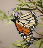 A monarch butterfly is seen in an undated handout picture taken in Oklahoma City, Oklahoma. REUTERS/Leslie Ann Miller/Handout via Reuters