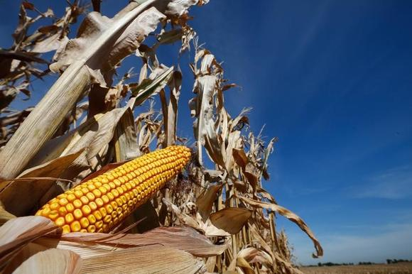 A cob of corn is seen in field during the harvest in Minooka, Illinois, September 24, 2014. REUTERS/Jim Young