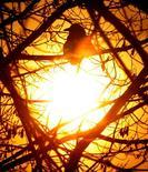 Ворона на ветке дерева в Москве 18 января 2006 года. Наступающие выходные в Москве будут преимущественно ясными и обойдутся без осадков, свидетельствует усреднённый прогноз, составленный на основании данных Гидрометцентра России, сайтов intellicast.com и gismeteo.ru. REUTERS/Alexander Natruskin