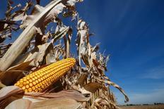 Una mazorca de maíz vista en un campo en tiempos de cosecha en Minooka. Imagen de archivo, 24 septiembre, 2014. Los inventarios globales de granos se están encaminando a un máximo de 15 años a medida que la cosecha histórica de maíz en Estados Unidos ingresa en su etapa final, pero el riesgo de una escasez de alimentos persiste porque la demanda por carne y biocombustibles sigue creciendo.  REUTERS/Jim Young