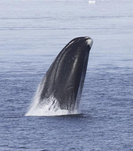 How to age gracefully? Ask a bowhead whale