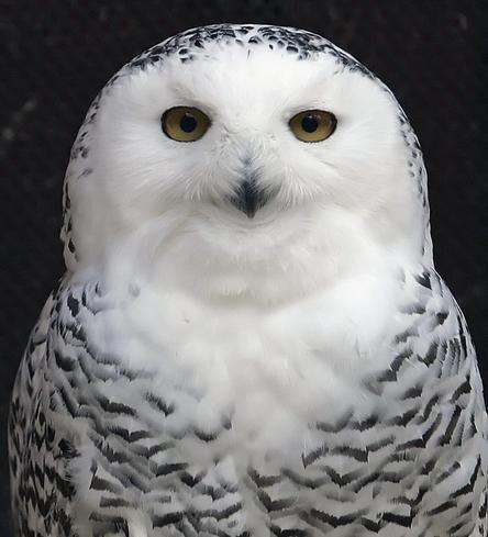 North American sightings of elusive snowy owls take flight