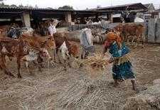 """A woman spreads out fodder for rescued cattle at a """"goushala"""", or a cow shelter, run by Bharatiya Gou Rakshan Parishad, an arm of Hindu nationalist group Vishwa Hindu Parishad (VHP), at Aangaon village in the western Indian state of Maharashtra February 20, 2015.   REUTERS/Shailesh Andrade"""