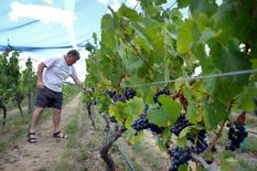 Larry McKenna, chief winemaker and director at Escarpment, looks at grapes hanging from vines at the winery located near Martinborough village, east of the city of Wellington, March 6, 2015.  REUTERS/Naomi Tajitsu