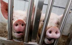 Свиньи на сфиноферме в Красноярском крае. Крупнейший в РФ производитель свинины агрохолдинг Мираторг в первом квартале 2015 года увеличил продажи своей продукции на 30 процентов до 143.000 тонн в годовом выражении, при этом производство свинины выросло на 11 процентов, сообщила компания в пятницу. REUTERS/Ilya Naymushin