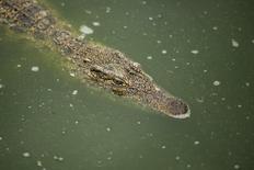 A Cuban crocodile (Crocodylus rhombifer) is seen in a hatchery at Zapata Swamp National Park, June 4, 2015. REUTERS/Alexandre Meneghini