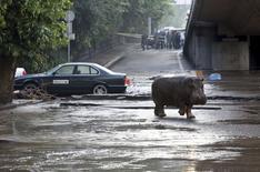 Бегемот на затопленной  улице в Тбилиси 14 июня 2015 года. Несколько опасных животных по-прежнему бродят по Тбилиси, оказавшись на воле после того, как столичный зоопарк разрушило невиданное наводнение, унесшее жизни людей. REUTERS/Beso Gulashvili