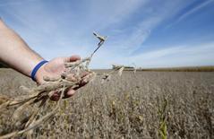 Una persona revisa una  cosecha en un sojal en Minooka, EEUU, sep 24 2014. Informa Economics elevó levemente sus estimados para la cosecha de soja de Estados Unidos este año y dejó sin cambios su previsión para la producción de maíz.    REUTERS/Jim Young