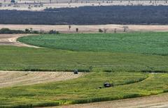 Una granja de maíz vista en Limoeiro do Norte, Brasil, 15 de enero de 2015. La agencia gubernamental de suministros agrícolas Conab de Brasil elevó el martes su pronóstico para la cosecha de maíz en el 2014/15 a 84,3 millones de toneladas, desde 81,8 millones estimado el mes pasado. REUTERS/Davi Pinheiro