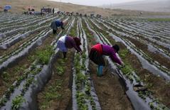 Unas granjeras cosechando frutillas en una granja ubicada a las afueras de Lima, ago 5 2015. La economía peruana habría crecido un 3,0 por ciento interanual en junio, una recuperación frente al mes previo, por un avance de los sectores minero y agropecuario que contrarrestó la caída de la actividad pesquera, mostró el miércoles un sondeo de Reuters. REUTERS/Mariana Bazo