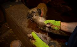Merlin, a Border Terrier, chews on a dead rat, which it killed during an organized rat hunt on New York City's Lower East Side July 25, 2014. REUTERS/Mike Segar