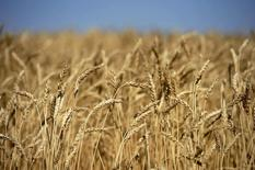 A wheat crop ready for harvest are seen on the Canadian prairies near Taber, Alberta, September 7, 2011. REUTERS/Todd Korol