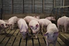 Свиньи в хлеву фермы  Paustian Enterprises в Айове. Русагро начало поставки свиных субпродуктов во Вьетнам и Китай.  REUTERS/Daniel Acker