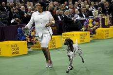 CJ, a German Shorthaired Pointer, is run by his handler after winning the Sporting Group During the Westminster Kennel Club Dog show at Madison Square Garden in New York February 16, 2016. REUTERS/Mike Segar