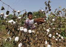 A farmer harvests cotton in his field at Nani Kadi village in the western state of Gujarat, India, in this October 20, 2015 file photo. REUTERS/Amit Dave/Files