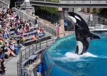Orca vista em apresentação no parque aquático SeaWorld em San Diego, Flórida.    19/03/2014        REUTERS/Mike Blake/Files