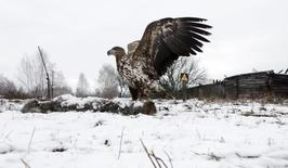 A white-tailed eagle lands on a wolf's carcass in the 30 km (19 miles) exclusion zone around the Chernobyl nuclear reactor, in the abandoned village of Dronki, Belarus, February 15, 2016.  REUTERS/Vasily Fedosenko