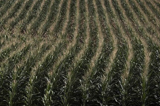 A corn field is seen in DeWitt, Iowa in this July 12, 2012 file photo. REUTERS/Adrees Latif/Files