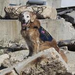 Golden retriever Bretagne, the last known surviving search and rescue dog who was deployed to New York World Trade Center after the Sept. 11, 2001 attacks on the city,  has died at the age of 16 in a Houston, Texas suburb after  suffering from numerous problems including kidney failure, United States on June 7, 2016.    Courtesy Cy-Fair Volunteer Fire Department/Handout via REUTERS