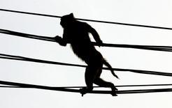 Обезьяна на электропроводах в Нью-Дели. 27 июня 2005 года. Упавшая в трансформатор гидроэлектростанции обезьяна спровоцировала масштабное отключение электроэнергии в Кении, сообщила генерирующая энергетическая компания Kenya Electricity Generating Company (KenGen). REUTERS/Desmond Boylan