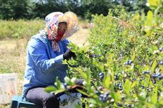 A blueberry picker picks fruit at Lohas Farms in Richmond, British Columbia, Canada on July 3, 2016.  REUTERS/Julie Gordon