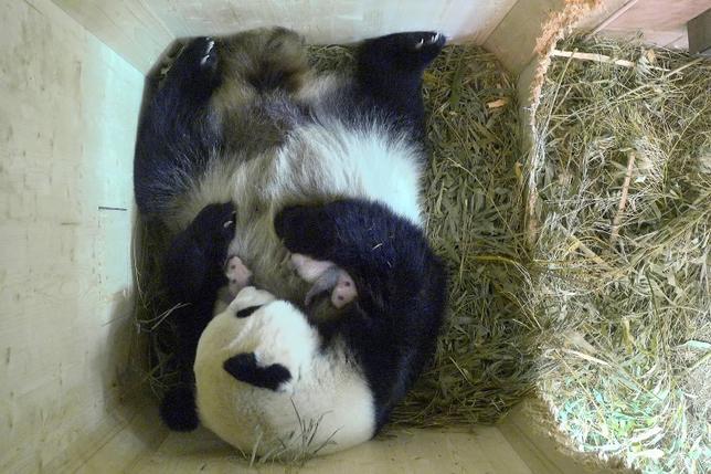 8月23日、オーストリアの首都ウィーンにあるシェーンブルン動物園で今月7日に誕生した双子のパンダの赤ちゃんは、健康状態も良好で順調に育っている。動物園が公開した動画では、母親の「ヤンヤン」が前脚で大切に抱えながら2頭をなめている様子がみれる。写真は動物園提供(2016年 ロイター /Schoenbrunn Zoo)