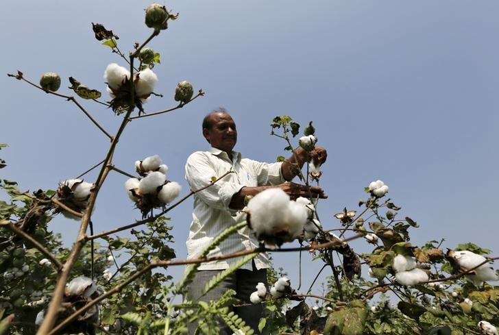 A farmer harvests cotton in his field at Rangpurda village in Gujarat, October 20, 2015.  REUTERS/Amit Dave/Files