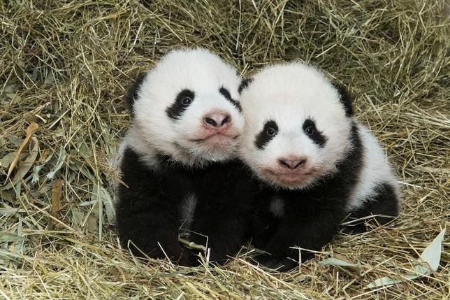 11月3日、今年8月に雄と雌の双子のジャイアントパンダ(写真)が誕生したウィーンのシェーンブルン動物園は、オンラインで募集したなかから雄の赤ちゃんの名前を決定したと明らかにした。写真は10月27日撮影。動物園が11月3日提供(2016年 ロイター)