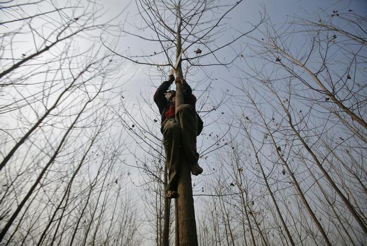 A villager trims the branches of a poplar tree in his field on a cold day at Sabota village in Uttar Pradesh January 13, 2011. REUTERS/Parivartan Sharma/Files