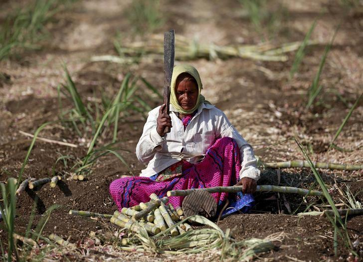 Parubai Govind Pawar, a 55-year-old female worker cuts sugarcane in a field in Degaon village in Solapur, in the western state of Maharashtra, India December 18, 2015. REUTERS/Danish Siddiqui/File photo