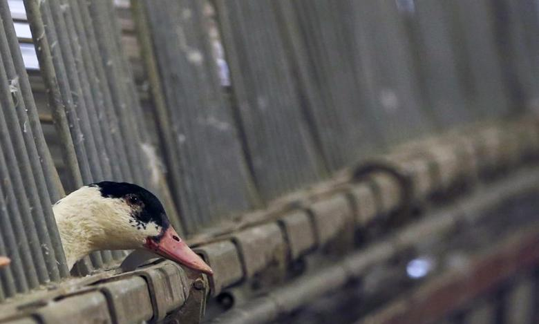 A duck is seen in its enclosure at a poultry farm in Doazit, Southwestern France, December 17, 2015. REUTERS/Regis Duvignau