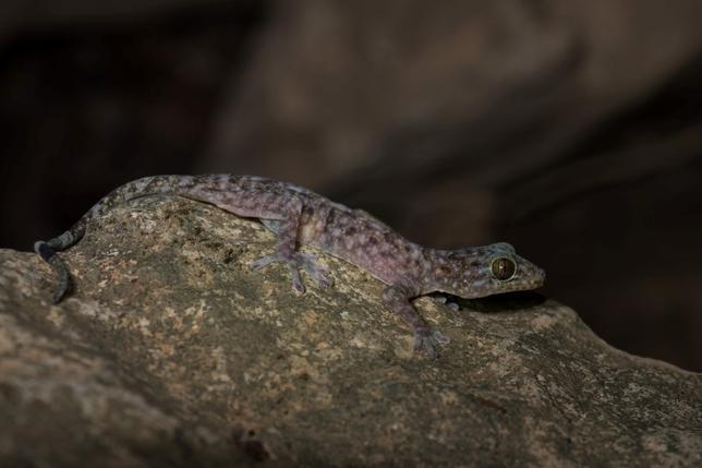 12月19日、世界自然保護基金(WWF)は、タイを含む大メコン圏で、頭が虹色のヘビやラオスで見つかった薄青色の皮膚を持つヤモリ(Gekko Bonkowski、写真)など、最近163の新種生物が発見されたとするリポートを発表した。写真はWWF提供(2016年 ロイター/WWF/Thomas Calame)