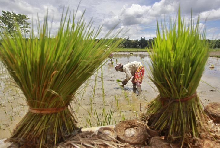 A labourer plants saplings in a paddy field on the outskirts of Agartala, capital of Tripura state, July 30, 2014. REUTERS/Jayanta Dey/Files