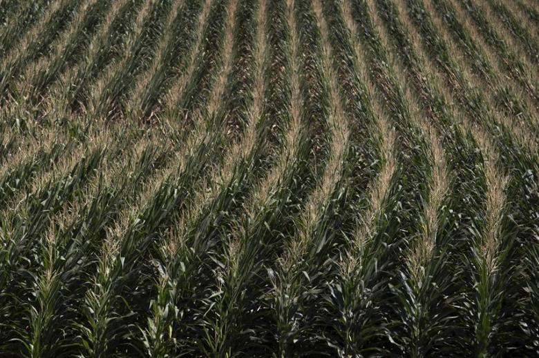A corn field is seen in DeWitt, Iowa July 12, 2012. REUTERS/Adrees Latif/File Photo
