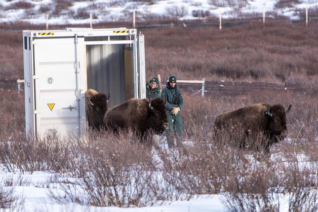 2月6日、カナダ当局はアルバータ州中部で保護されているバイソンの群から16頭を、国内で最も古いバンフ国立公園のパンサーバレーの牧草地に移送したと明らかにした。この地域にバイソンが復活するのは約130年ぶりとなる。提供写真(2017年 ロイター/Dan Rafla/Parks Canada)