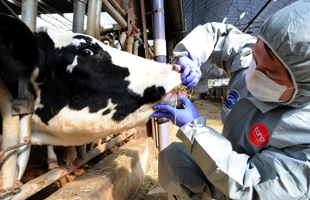 South korea on high alert as second strain of foot and mouth disease a health officer checks a cattle in a farm in gimje as a preventive measure against foot and mouth disease after south korea on monday confirmed a case of publicscrutiny Gallery