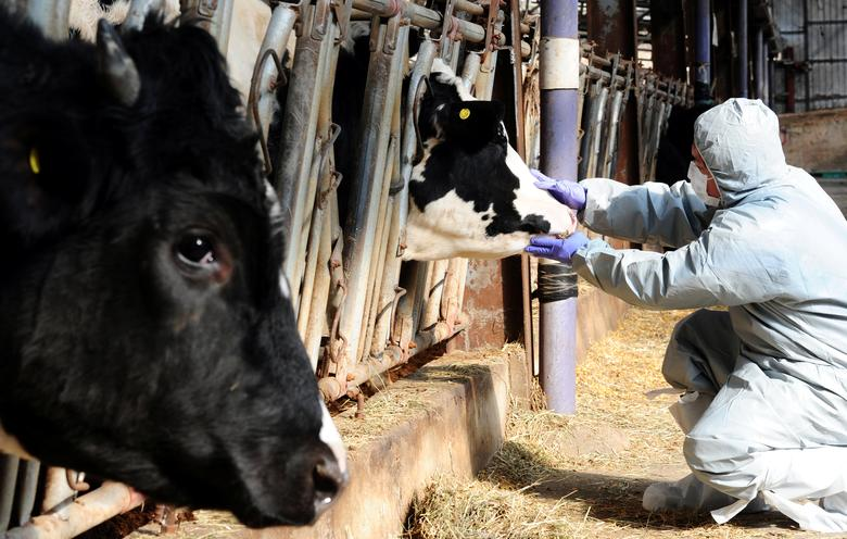A health officer checks a cattle in a farm in Gimje as a preventive measure against foot-and-mouth disease after South Korea on Monday confirmed a case of food-and-mouth at a dairy farm elsewhere in the country, South Korea, February 6, 2017.   Moon Yo-han/News1 via REUTERS