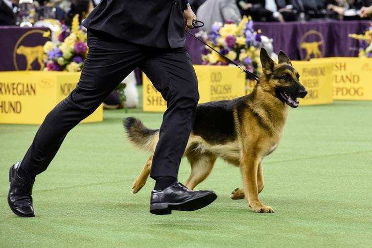 Rumor, a German Shepherd, wins the Herding group at the 141st Westminster Kennel Club Dog Show, in New York City, U.S. February 13, 2017. REUTERS/Stephanie Keith