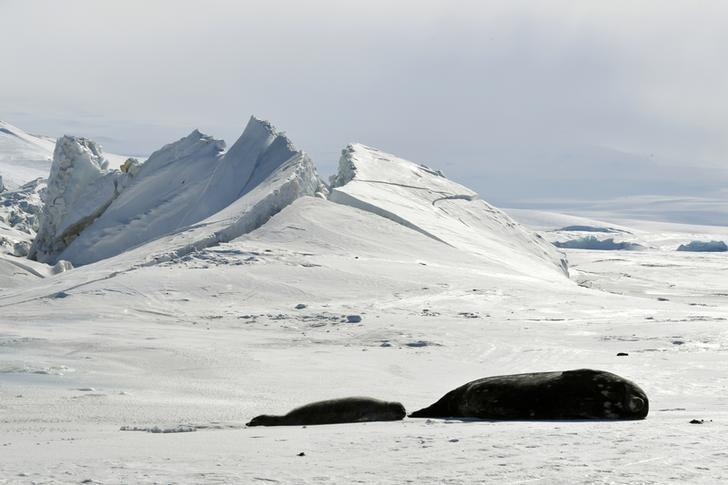 Seals lie on a frozen section of the Ross Sea at the Scott Base in Antarctica on November 12, 2016.  REUTERS/Mark Ralston/Pool/File Photo
