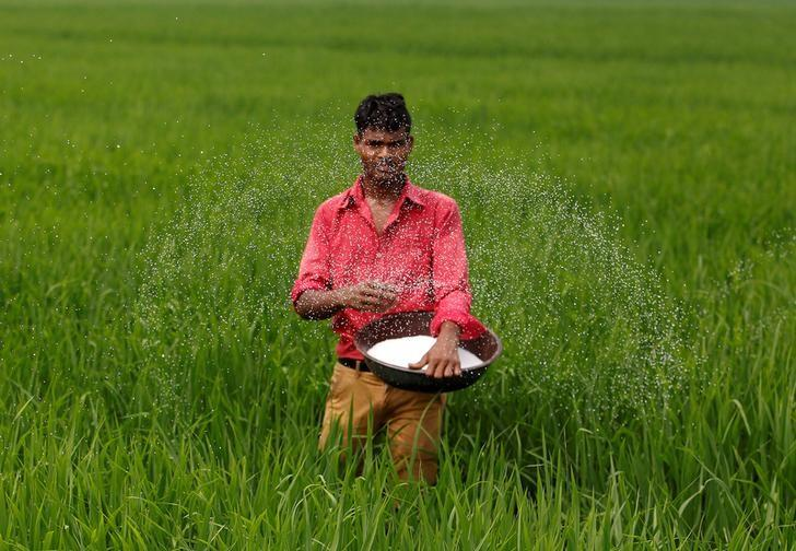 A farmer spreads fertilizer in his rice field on the outskirts of Ahmedabad, India, August 30, 2016. Picture taken August 30, 2016. REUTERS/Amit Dave/File Photo