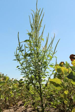 The Palmer amaranth weed is pictured in Harrison County, Iowa, United States in this undated handout photo obtained by Reuters March 31, 2017.   Bob Hartzler/Iowa State University/Handout via REUTERS
