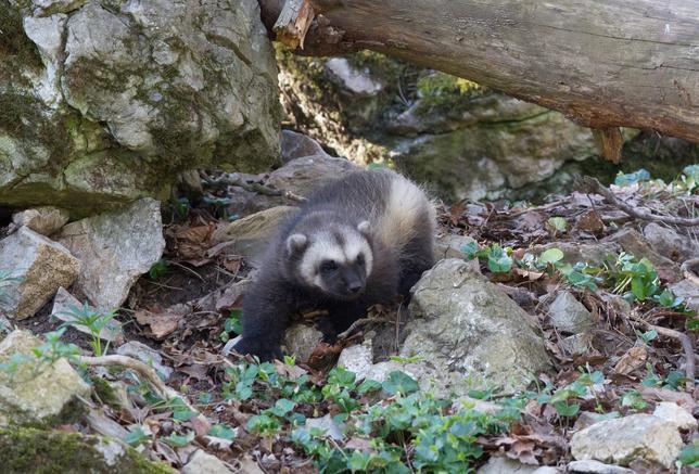4月14日、ブリュッセル南方の野生動物公園で、2月に生まれたイタチ科のクズリの赤ちゃんが今週、無事巣穴から出てきた。公園の広報担当者が明らかにした。クズリは寒冷地に棲む肉食目イタチ科の動物で、現在はスカンディナビア、ロシアと北米の一部などに生息するのみとなっている。12日撮影の提供写真(2017年 ロイター/AKohler/Domaine des Grottes de Han)