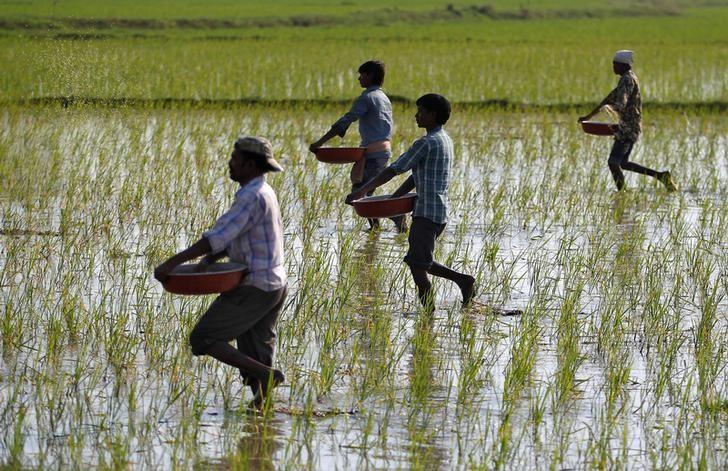 Farmers sprinkle fertilizers on a paddy field on the outskirts of Ahmedabad, India, February 1, 2017. REUTERS/Amit Dave/File Photo