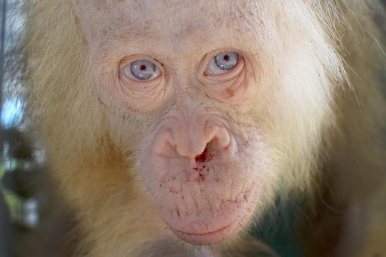 A rare five-year-old female albino orangutan is seen after it was rescued from captivity by authorities in Kapuas Hulu district, Central Kalimantan province, Indonesia April 29, 2017. BOSF/Indrayana via REUTERS